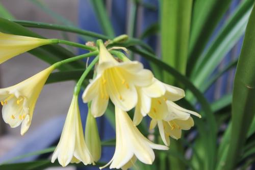 clivia jaune veneux 18 juil 2015 014 (2).jpg
