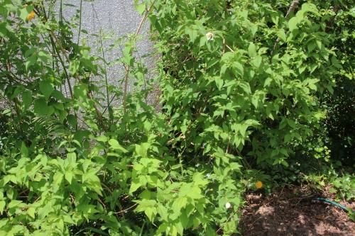 2 philadelphus lemoinei veneux 28 mai 2016 002.jpg