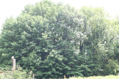 14 Pterocarya fraxinifolia Segrez 008.jpg