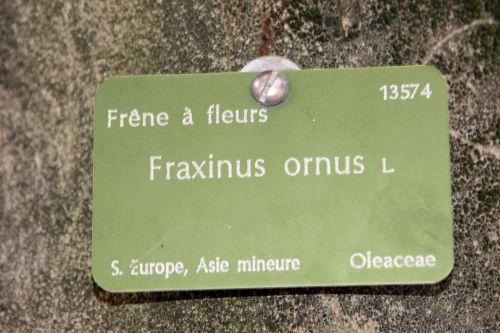 fraxinus ornus paris 1 dec 2013 139 (2).jpg