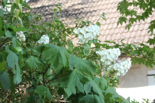20 hydrangea quercifolia 2 juil 2018 002.jpg