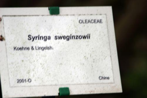 syringa sweginzowii  marnay 8 mai 2014 122 (4).jpg