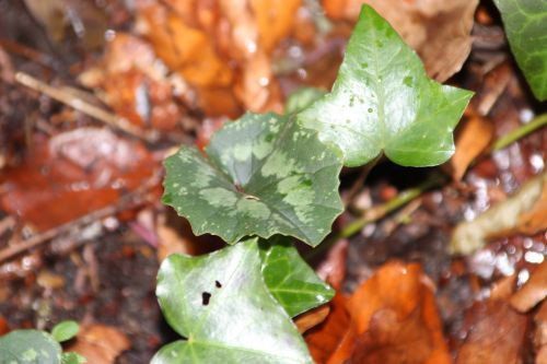 2 cyclamen pseudibericum veneux 4 janv 2014 008 (3).jpg