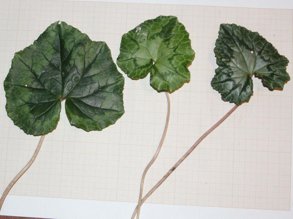 plante feuille comme cyclamen