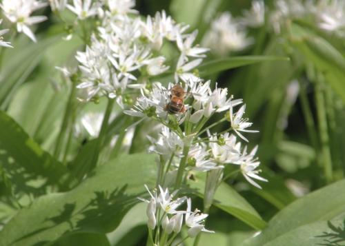 allium ursinum abeille veneux 21 avril 2017 007.jpg