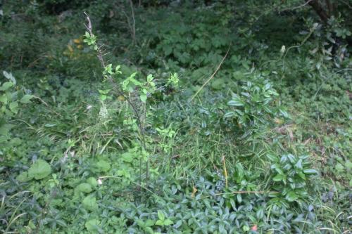 10 yponomeuta euonymus europaeus veneux 6 juin 2017 016 (2).jpg