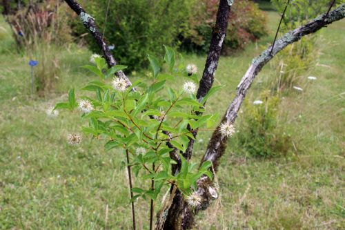 2 cephalanthus barres 27 juillet 2013 013.jpg