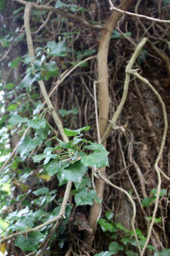 wisteria veneux 21 avril 2014 008 (2).jpg