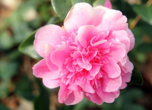 camellia cassandra 4 avril 2013 005.jpg