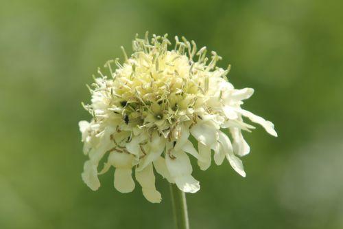 1 cephalaria romi 12 juin 2011 024.jpg