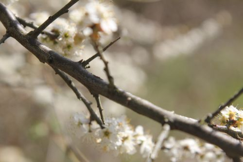 4 prunus spinosa romi 14 avril 2013 019.jpg