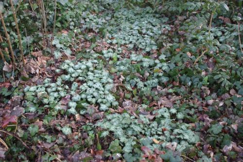 cyclamen hederifolium veneux 19 fev 2017 002.jpg