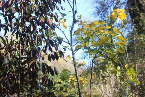 4 euonymus grandiflorus romi 31 oct 2016 013.jpg