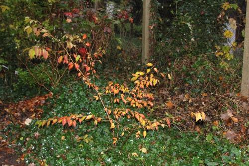 16 prunus subhirtella veneux 15 nov 2014 004.jpg