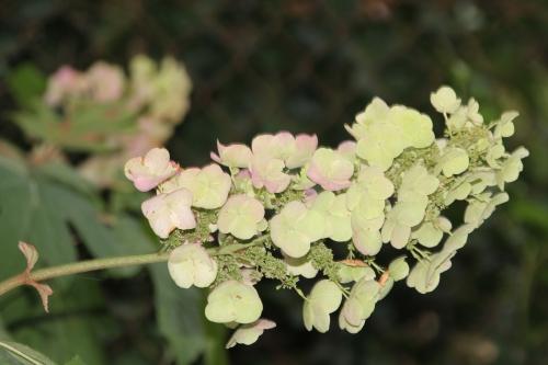 hydrangea quercifolia snow veneux 29 juil 2015 002.jpg