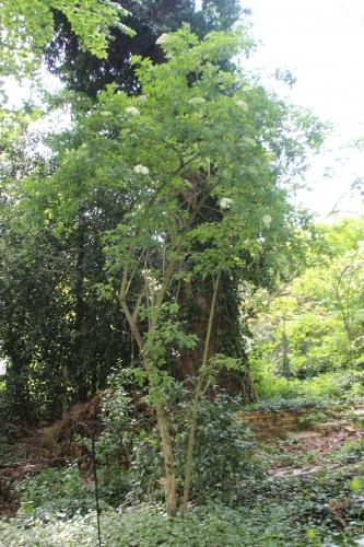 4 palmensis 16 mai 2016 001.jpg