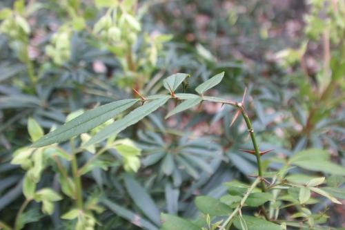 6 zanthoxylum subtrifoliatum veneux 26 fév 2017 002.jpg