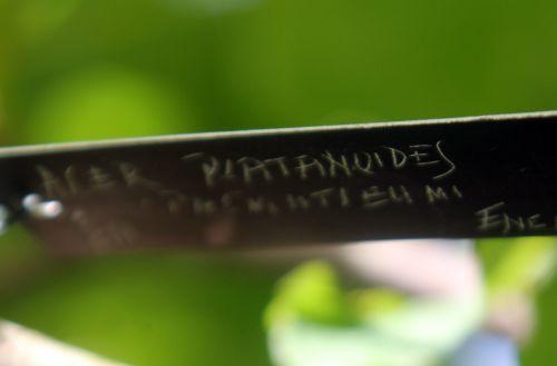 1 acer platanoides palmatifidum gb 21 oct 2012 011.jpg