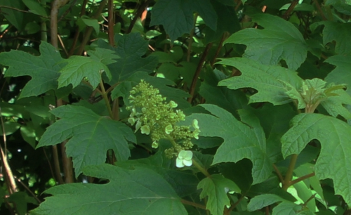 6 hydrangea quercifolia veneux 30 juin 2016 008.jpg