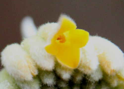 edgeworthia fl veneux 30 janv 2014 034.jpg