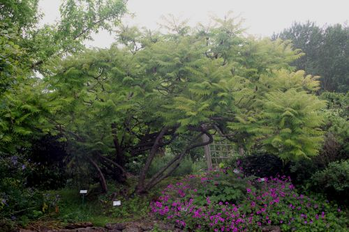 rhus typhina dissecta marnay 23 juin 2013 123 (1).jpg