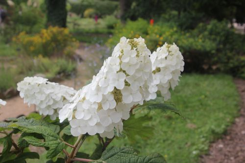 b hydrangea quercifolia paris 23 juin 2012 302 (2).jpg