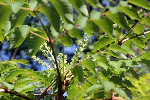 2 aralia spinosa romilly 22 juil 2012 044 (6).jpg
