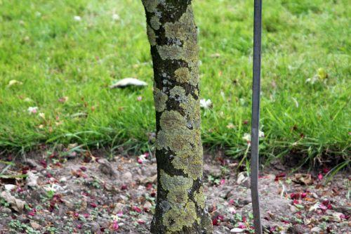 clerodendrum trichotomum paris 21 juil 2012 060 (6).jpg