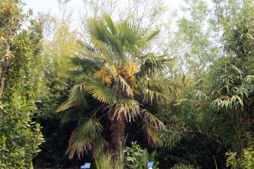 2 trachycarpus marnay 1 juin 2013 003.jpg