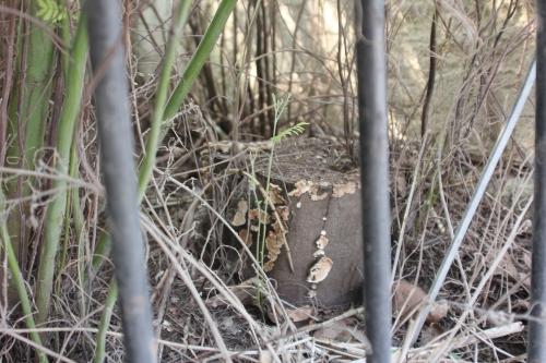 acacia decurrens tronc paris 18 mars 2015 155.jpg
