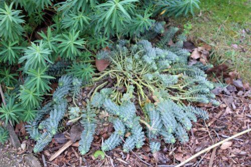 euphorbia myrsinites paris 21 janv 2012 146.jpg