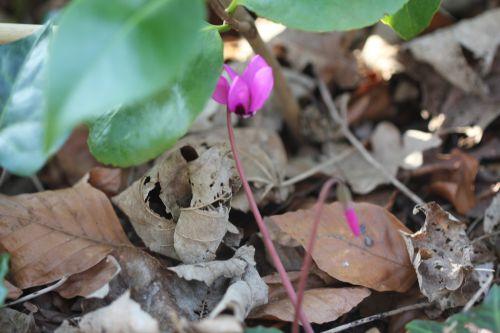 cyclamen ps veneux 21 mars 2012 014.jpg