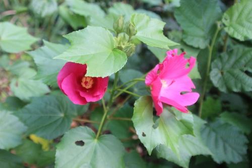 1 hibiscus mutabilis veneux 19 sept 2016 001.jpg