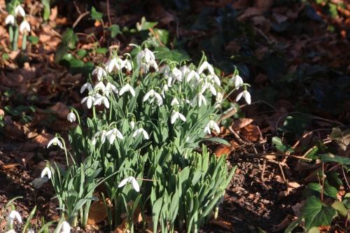 2 galanthus elwesii monostictu veneux 28 dec 2015 009.jpg