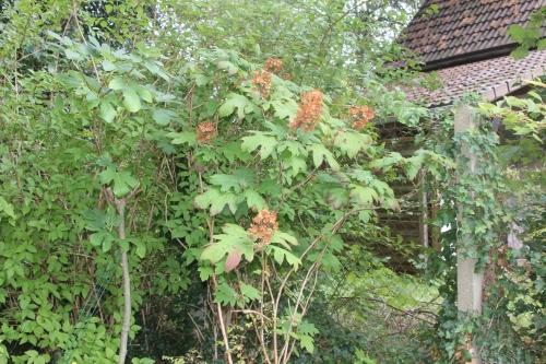 22 hydrangea quercifolia veneux 9 sept 2017 012 (1).jpg