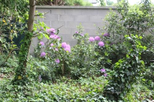 3 rhododendron catawbiense veneux 12 mai 2018 005 (3).jpg