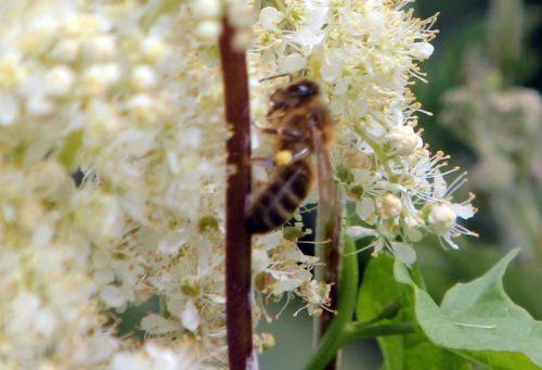 filipendula abeille paris 23 juin 2012 052 (3).jpg