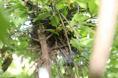 nid cornus off romi 30 août2015.jpg