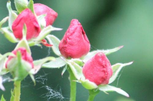 5 fraise des bois rec romi 1 juil 2014 019.jpg
