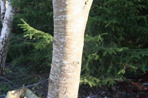 fraxinus 1 romi 12 déc 2010 015.jpg