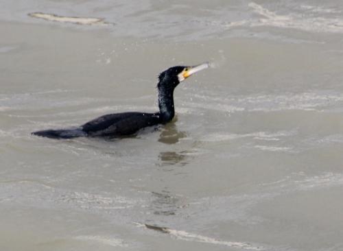 cormoran paris 31 janv 2015 207 (4).jpg