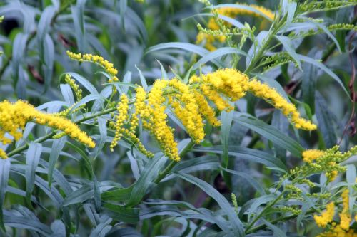 solidago virgaurea paris 2 juil 2011 192.jpg