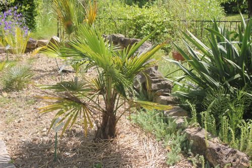 14 trachycarpus takil marnay 16 juin 2013 083 (1).jpg