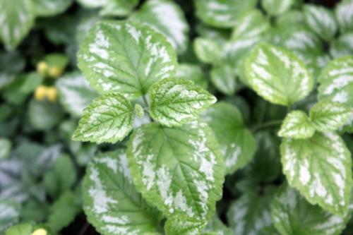 5 lamium gal veneux 19 avril 2012 002 (1).jpg