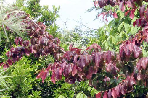 parrotia persica rec  30 juin 2012 131.jpg