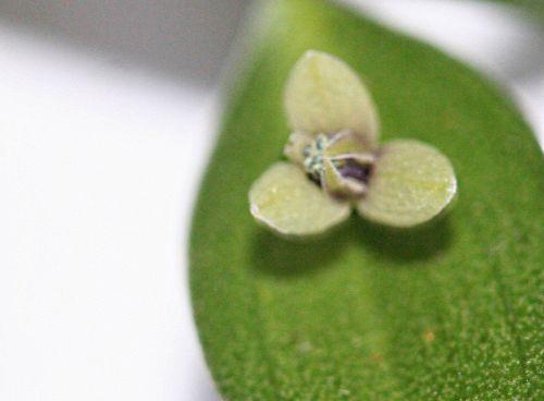 ruscus 3 0 m veneux 15 mars 2011 p 034.jpg