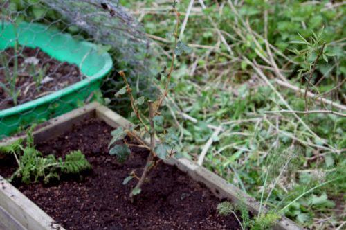 1 fremontodendron 20 avril 2013.jpg