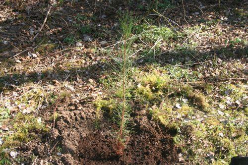 0 pinus nigra  25 mars 2011 070.jpg