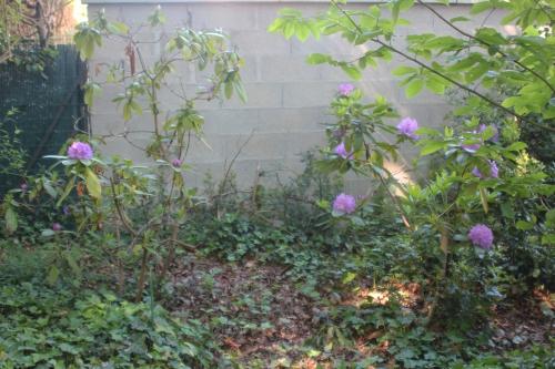 24 rhodo catawbiense veneux 23 mai 2017 006 (2).jpg