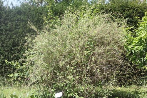 1 lycium chinense romi 26 juil 2017 006 (1).jpg